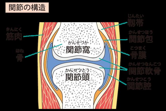 関節の構成のイラスト